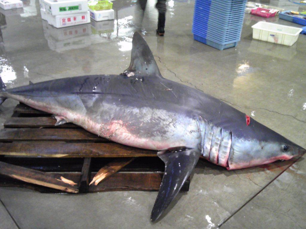 魚市場便り(アオザメ)